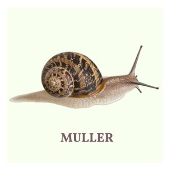 muller-snail